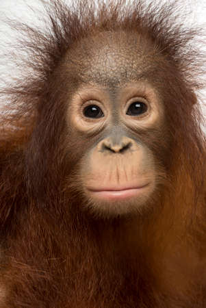 Close-up of young Bornean orangutan facing, Pongo pygmaeus, 18 months old, isolated on white