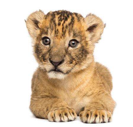 横たわるライオンの子の正面、4 週古い、白で隔離 写真素材