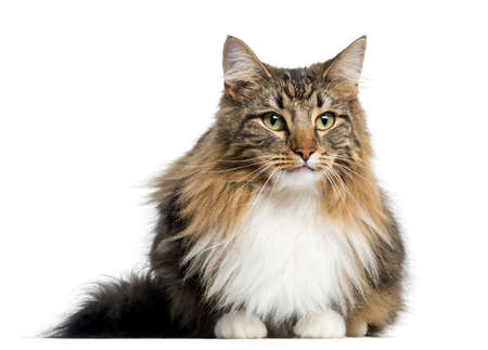 Norwegian Forest Cat, isolated on white 版權商用圖片 - 90243137