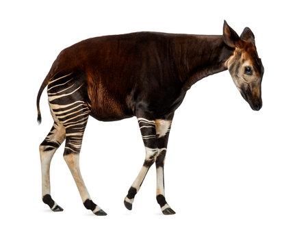 Zijaanzicht van een Okapi-het lopen, Okapia-johnstoni, op wit wordt geïsoleerd dat