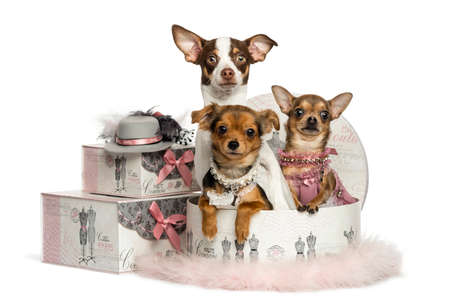 Group of Chihuahua in a clothes box, isolated on white