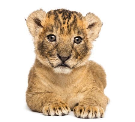 Vooraanzicht van een leeuwwelp liggend, 4 weken oud, geïsoleerd op wit Stockfoto