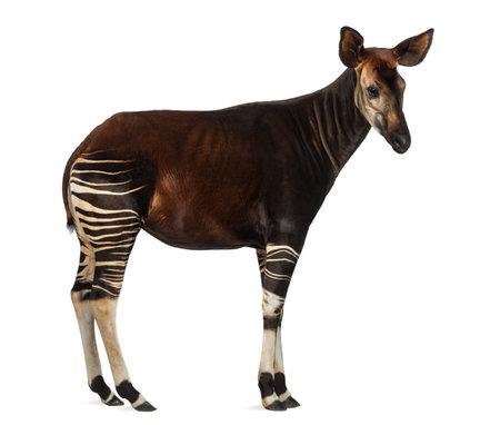 Zijaanzicht van een Okapi-status, Okapia-johnstoni, op wit wordt geïsoleerd dat Stockfoto