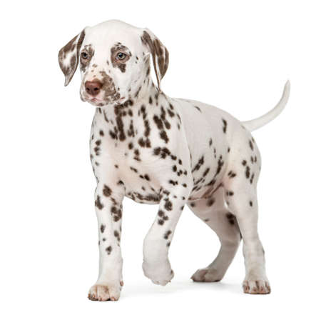 Dalmatian puppy walking in front of a white background