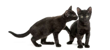 Black kitten sniffing at other kitten, 2 months old, isolated on white
