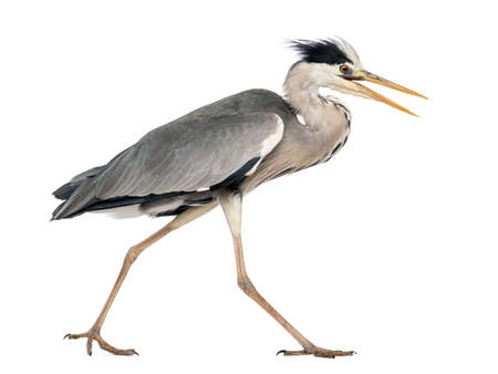 Side view of an Grey Heron walking, screaming, Ardea Cinerea, 5 years old, isolated on white Archivio Fotografico