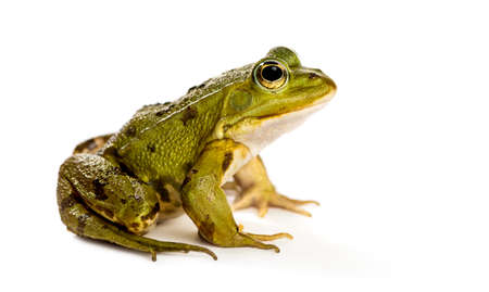 Common Water Frog in front of a white background 스톡 콘텐츠 - 90243986