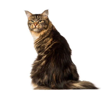 Rear view of a Maine Coon looking back