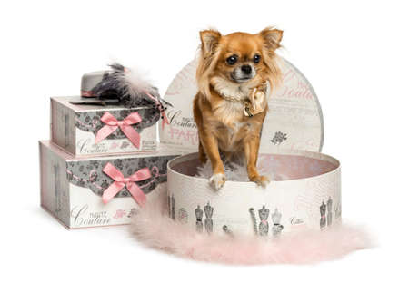 Chihuahua in a clothes box, isolated on white