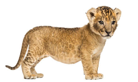 Side view of a Lion cub, 4 weeks old, isolated on white Reklamní fotografie
