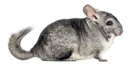 Side view of a Chinchilla, isolated on white Stok Fotoğraf - 90244036