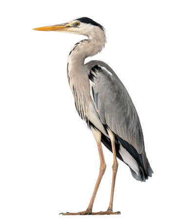 Grey Heron standing, Ardea Cinerea, 5 years old, isolated on white Archivio Fotografico