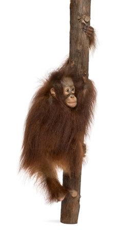 Vista posterior de un joven orangután de Borneo que sube en un tronco de árbol, Pongo pygmaeus, 18 meses de edad, aislado en blanco