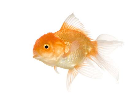 금붕어 - 흰색 배경 앞의 붕어 속 auratus auratus