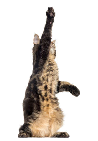 Maine Coon kitten on hind legs, pawing up, 4 months old, isolated on white