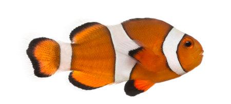 Ocellaris clownfish, Amphiprion ocellaris, isolated on white Foto de archivo