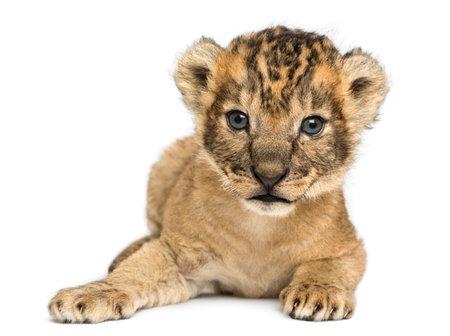 Lionceau, couché, 16 jours, isolé sur blanc