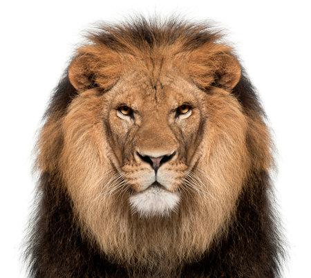 Nahaufnahme des Löwes, Panthera Löwe, 8 Jahre alt, vor weißem Hintergrund Standard-Bild