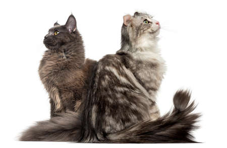 Two cats sitting back to back and looking up Stock Photo