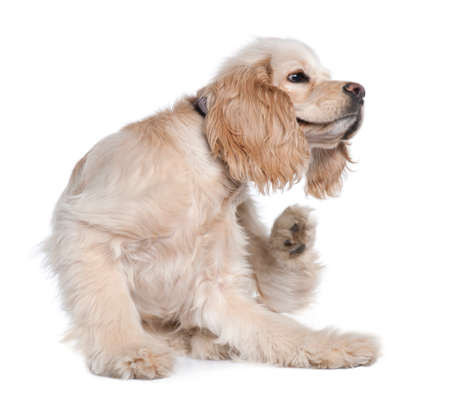 Young American Cocker Spaniel scratching, 9 months old, in front of white background