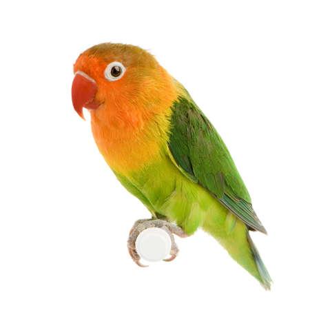 Peach-faced Lovebirdin  - Agapornis roseicollis or Lilian's Lovebird - Agapornis lilianae front of a white background 写真素材