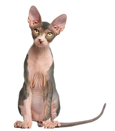 Sphynx kitten, 4 months old, sitting in front of white background Фото со стока