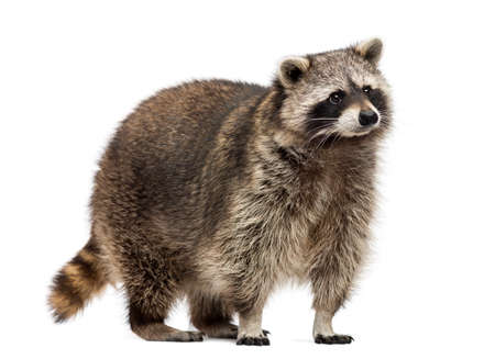 Racoon, Procyon Iotor, standing, isolated on white Stok Fotoğraf