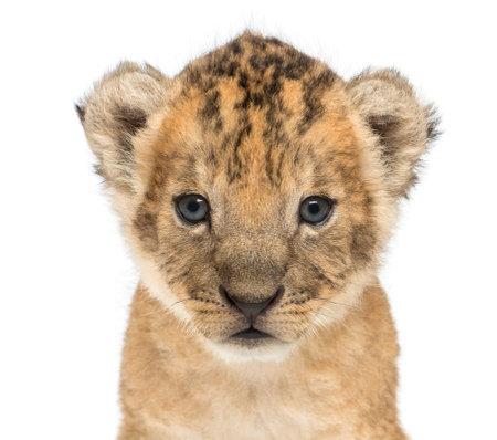 Primo piano di un cucciolo di leone, 16 giorni, isolato su bianco