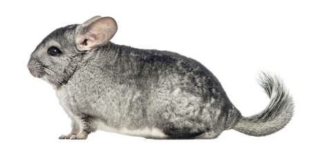 Side view of a Chinchilla, isolated on white