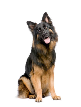 german shepherd (3 years) in front of a white background