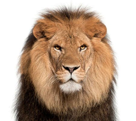 Close-up of lion, Panthera leo, 8 years old, in front of white background