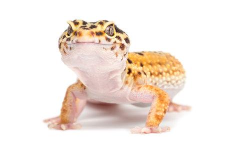 Leopard gecko, Eublepharis macularius, against white background