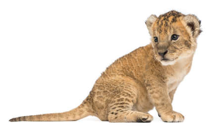 Side view of a Lion cub sitting, looking backwards, 16 days old, isolated on white Stock Photo