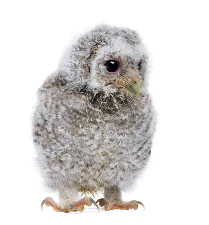 Baby Little Owl, 4 weeks old, Athene noctua, in front of a white background Archivio Fotografico