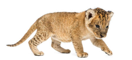Side view of a Lion cub prowling,16 days old, isolated on white