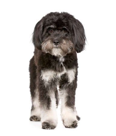 Tibetan Terrier (9 months) in front of a white background