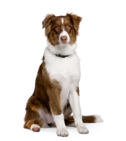 Puppy australian shepherd (5 months) in front of a white background