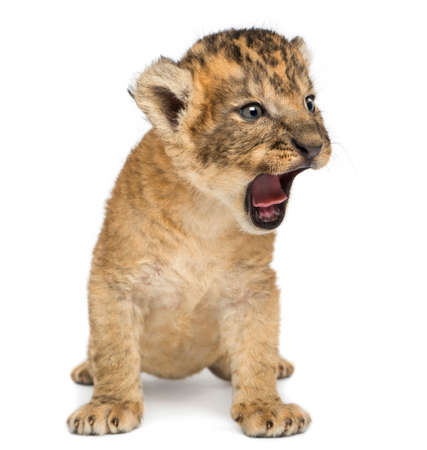 ライオンのカブ、座って轟音、白で隔離 写真素材