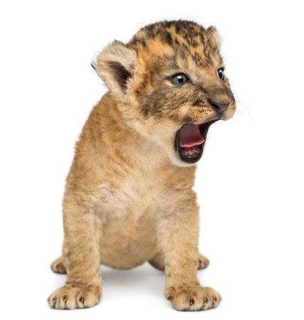 Lionceau, assis et rugissant, isolé sur blanc
