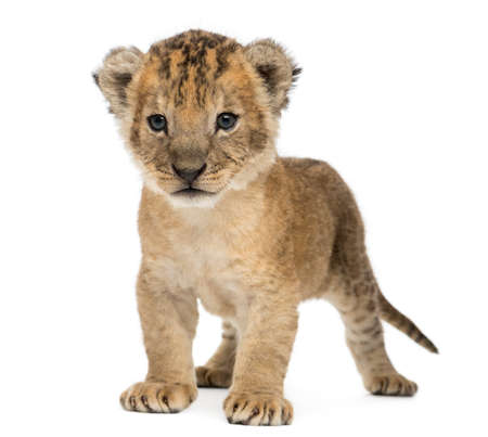 Lion cub standing, 16 days old, isolated on white