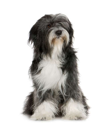 Tibetan Terrier (6 years) in front of a white background 写真素材