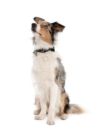Border Collie looking up, 2 years old, sitting in front of white background, studio shot Imagens