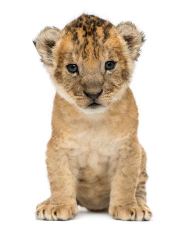 Lion cub, 4 weeks old, isolated on white 版權商用圖片