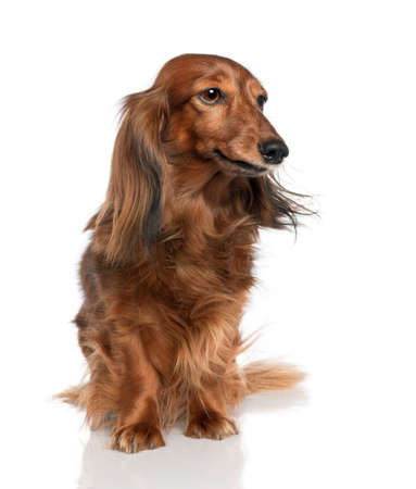 Dachshund (7 years old) in front of a white background