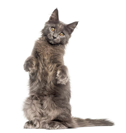 Front view of a Maine Coon kitten on hind legs, 4 months old, isolated on white Imagens - 90387482