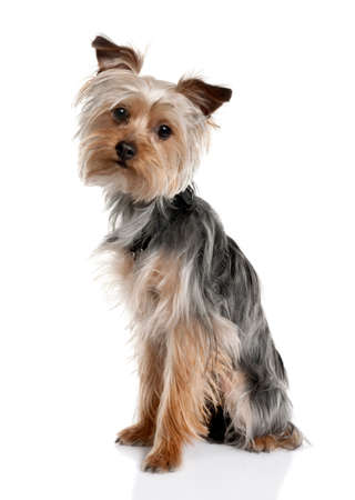 Yorkshire Terrier puppy (8 months old) in front of a white background Stock Photo