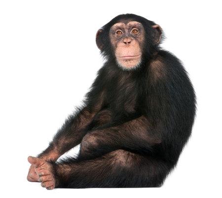 Giovane seduta dello scimpanzè - troglodytes di Simia (5 anni) davanti ad una priorità bassa bianca Archivio Fotografico - 90364605