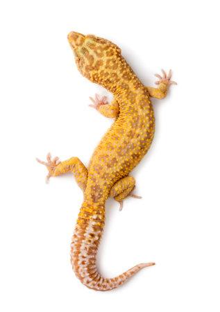 ヒョウヤモリ、ユーブレファリス黄斑、白い背景に対して 写真素材 - 90387552