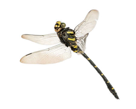 Flying Cordulegaster bidentata, isolated on white