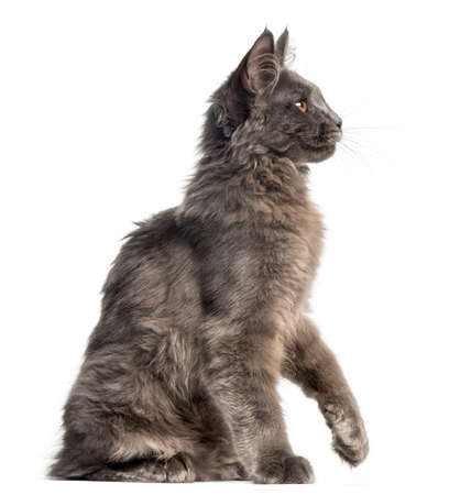 Side view of a Maine Coon kitten sitting, 4 months old, isolated on white